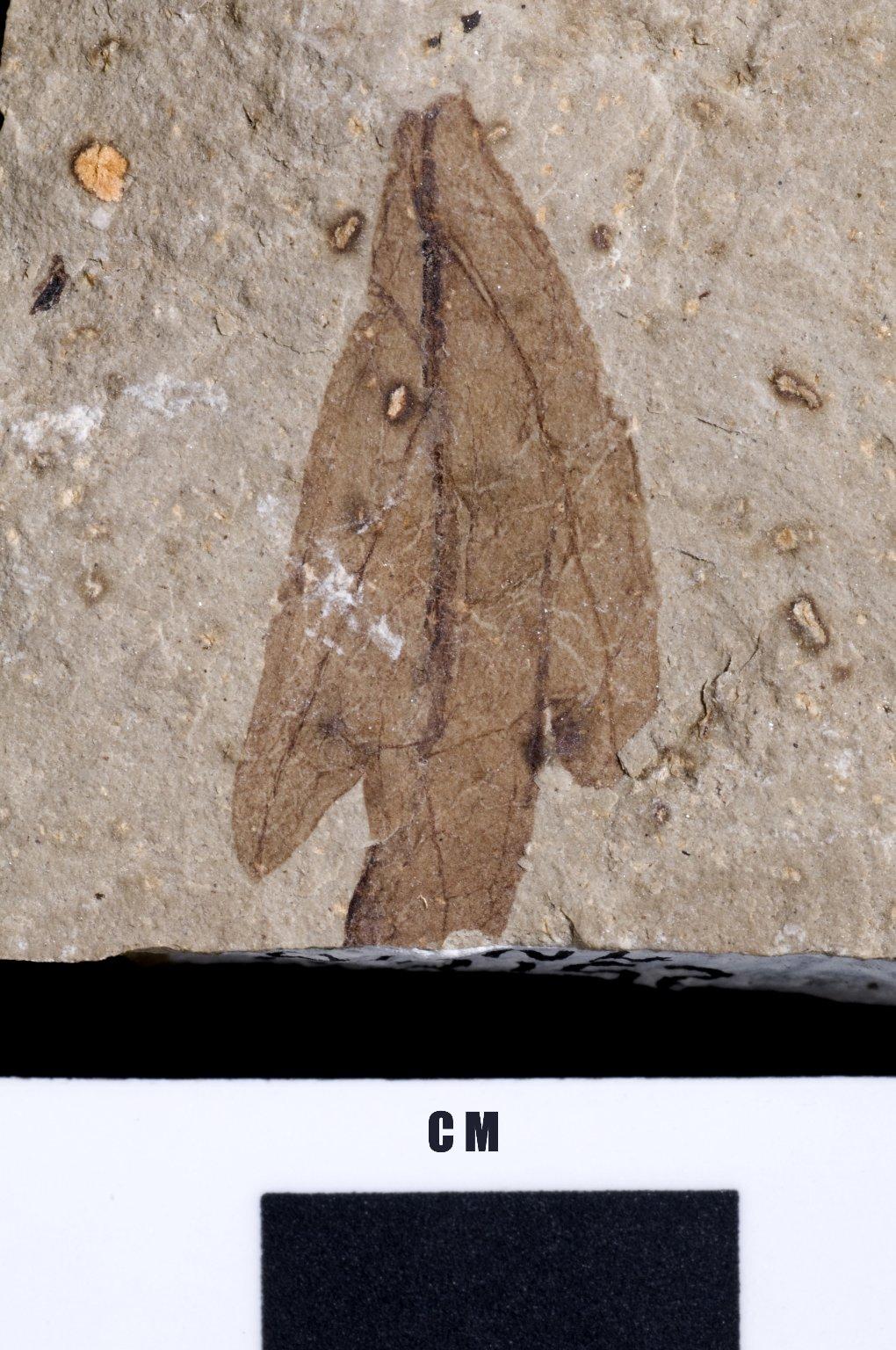 PC220 - leaf