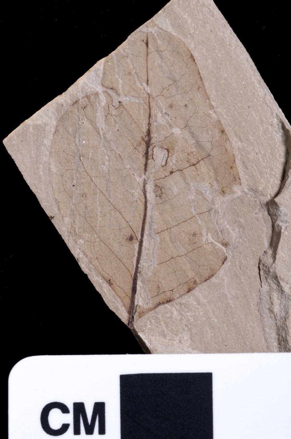PC233 - leaf