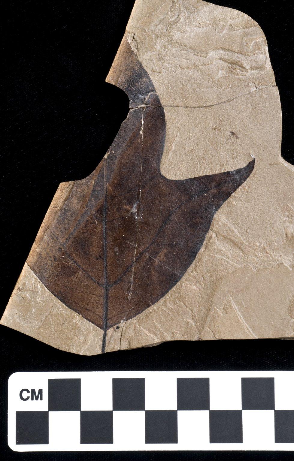 PC255 - leaf