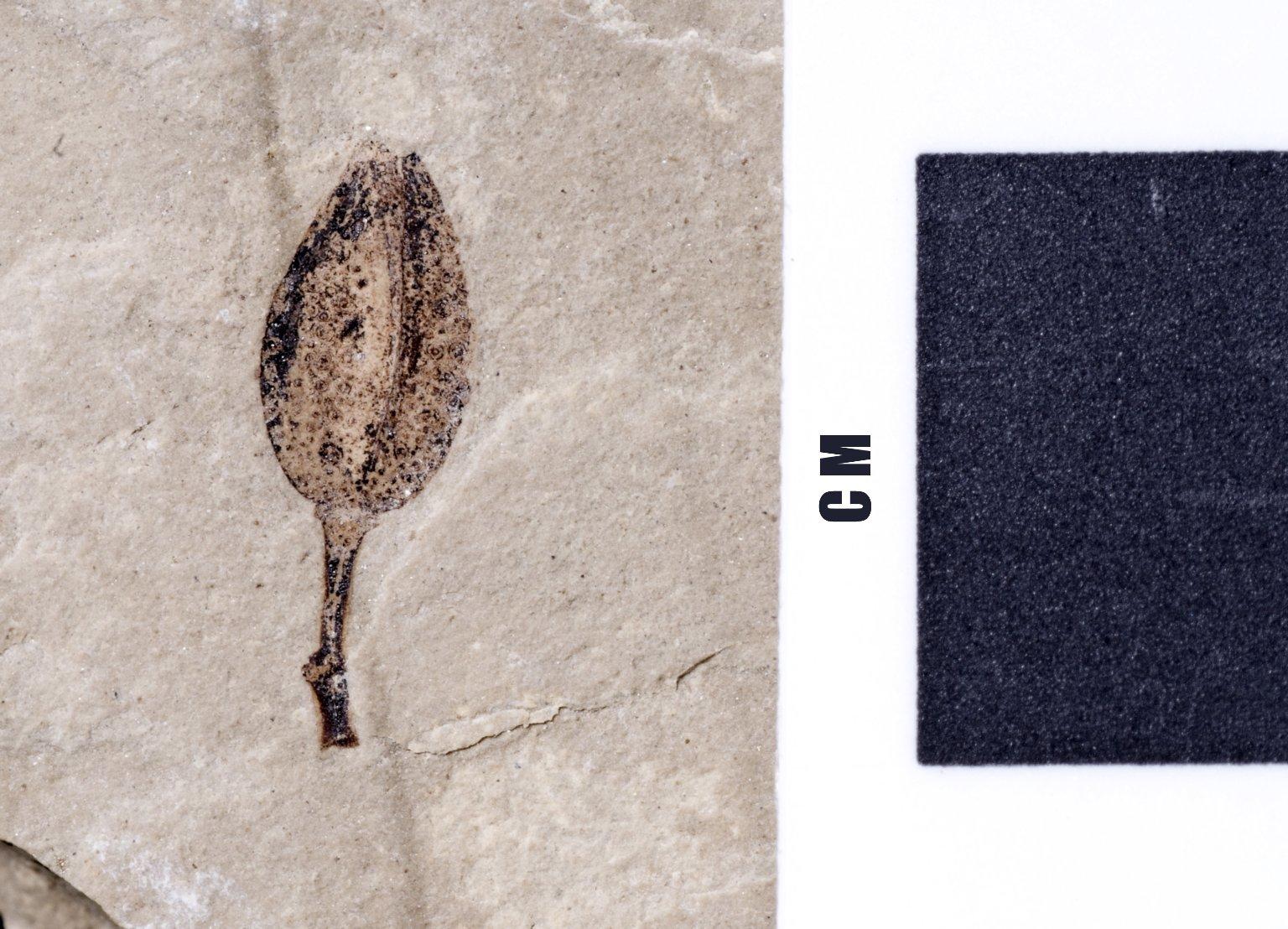PC026 - leaf