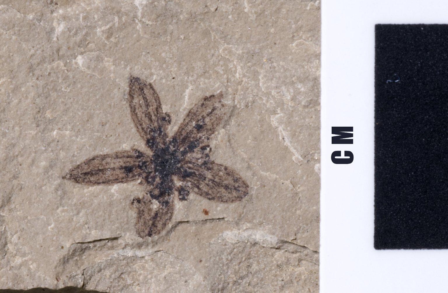 PC184 - leaf