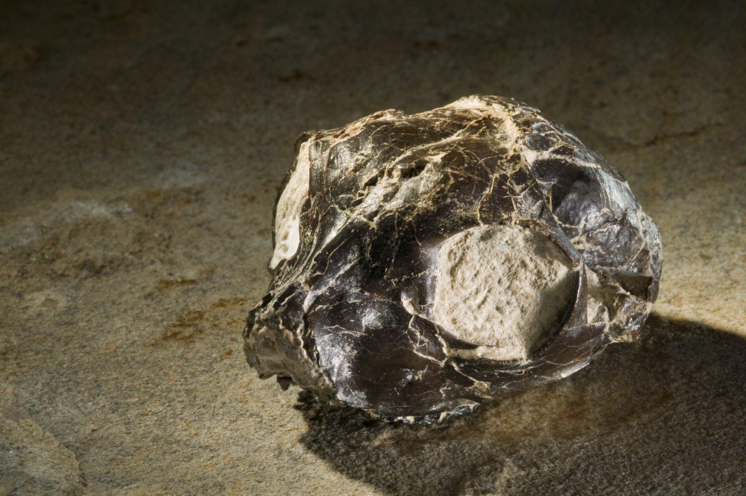 Smilodectes Gracilis Skull