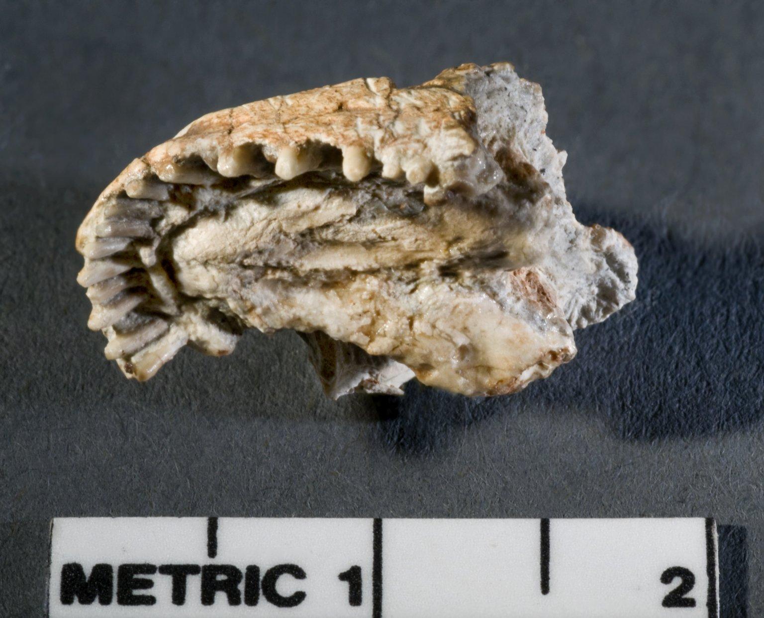 Lacertilian Lizard Skull-view B