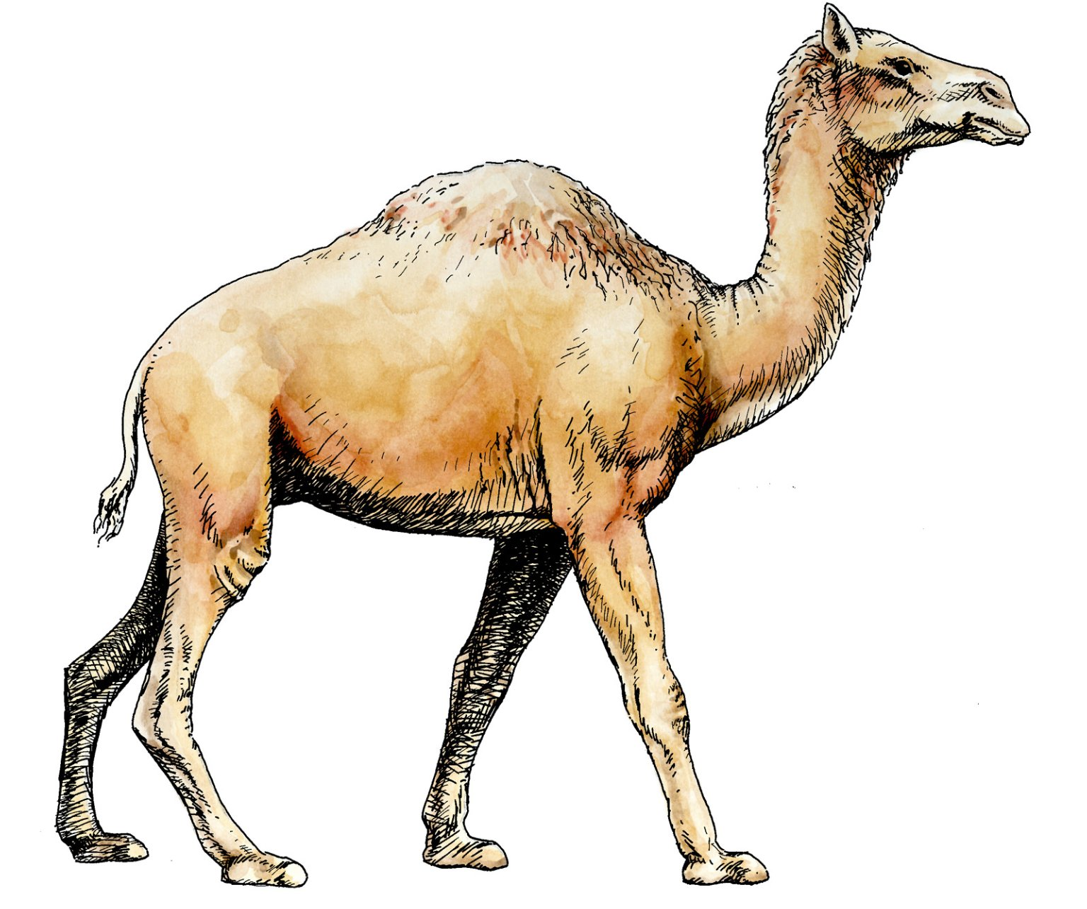 Camelops, Ice Age Mammal
