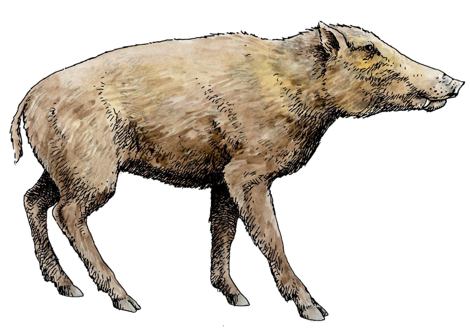 Peccary, Ice Age Mammal