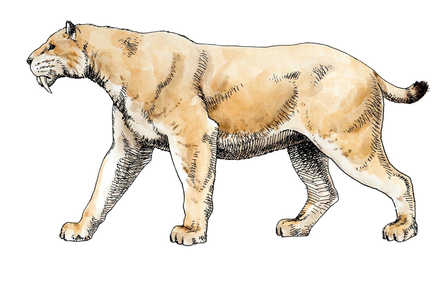 Sabertooth, Ice Age Mammal
