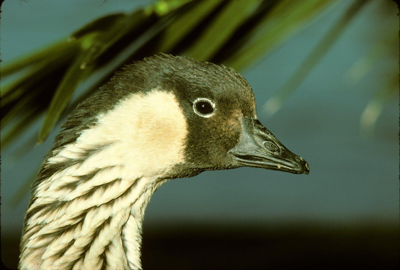 Hawaiian Goose or Nene