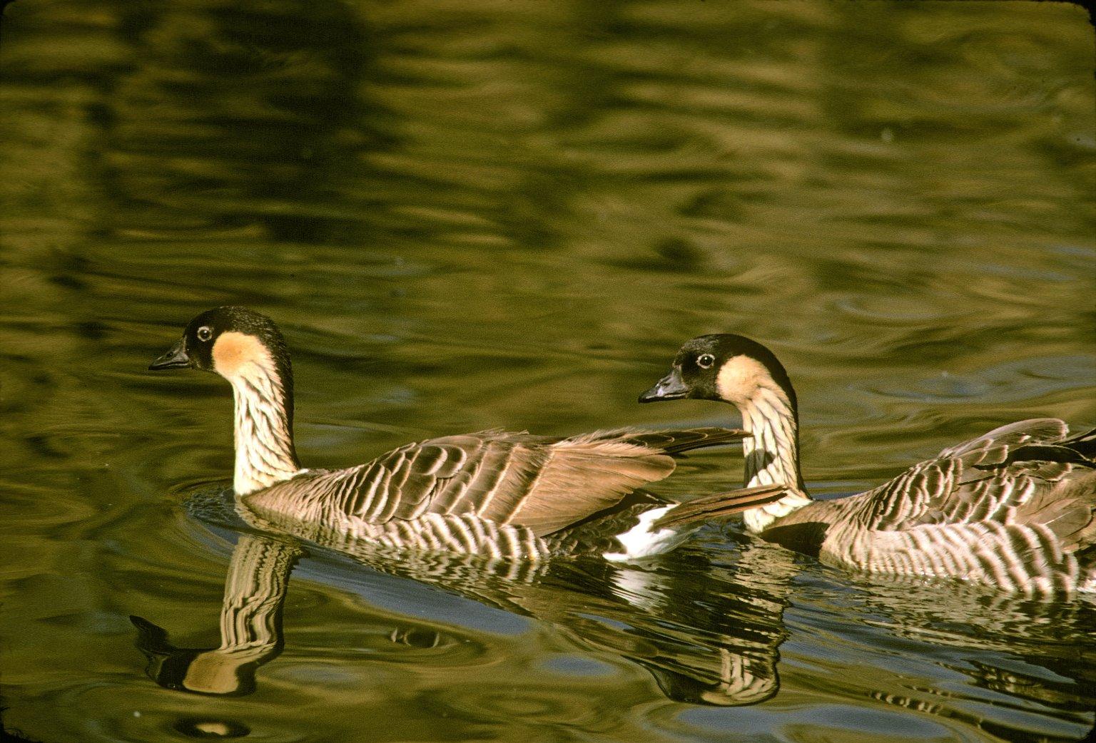Hawaiian Geese or Nene