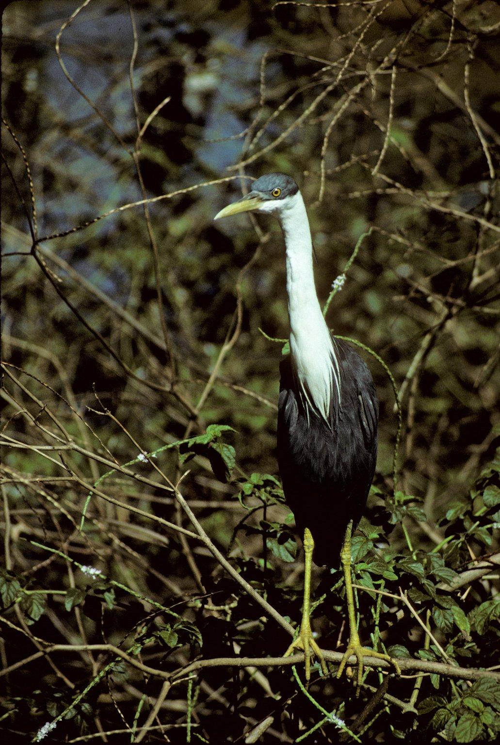 Pied Heron (also called Pied Egret)
