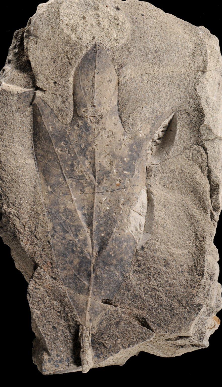 Fossil Leaf, Sassafras