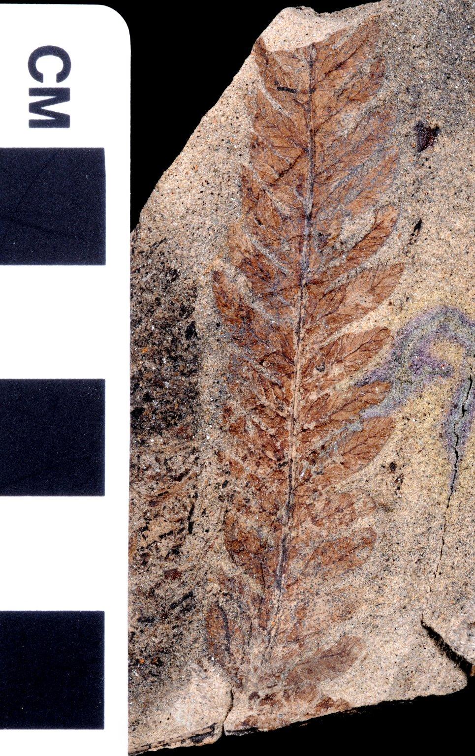 Fossil Leaf, Fern
