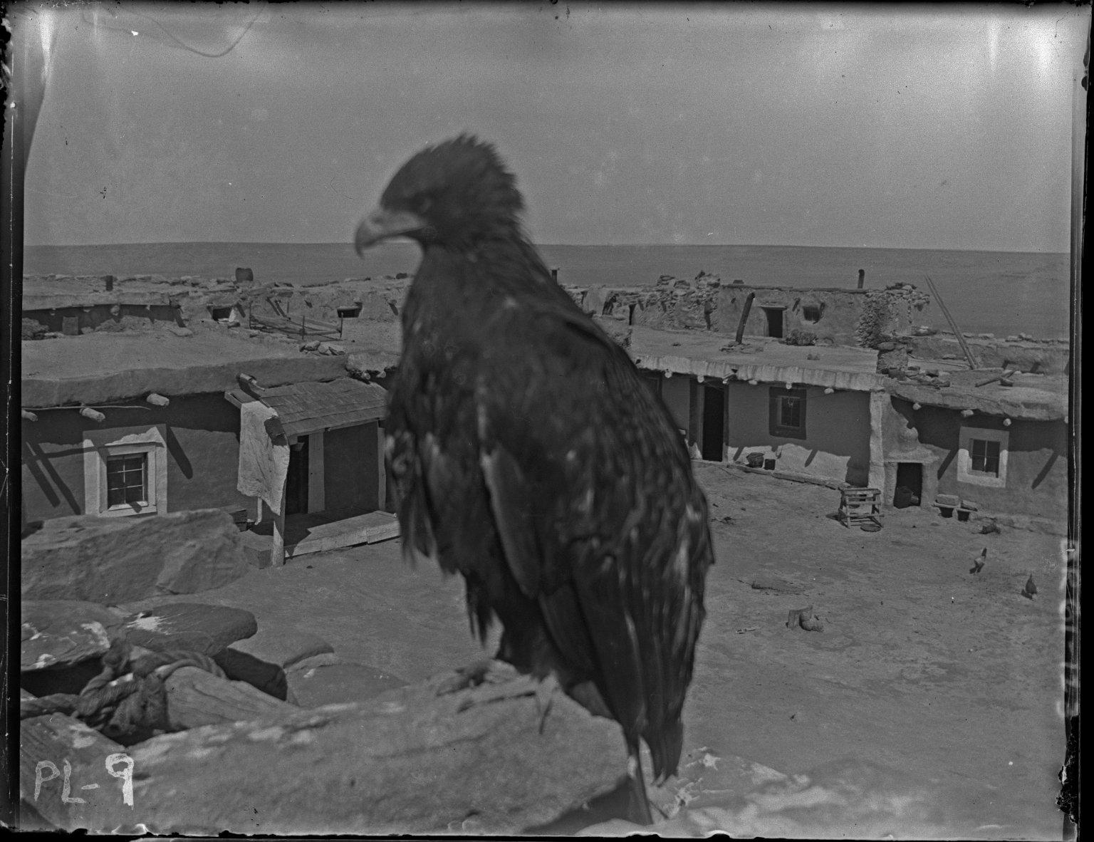 Captive eagle