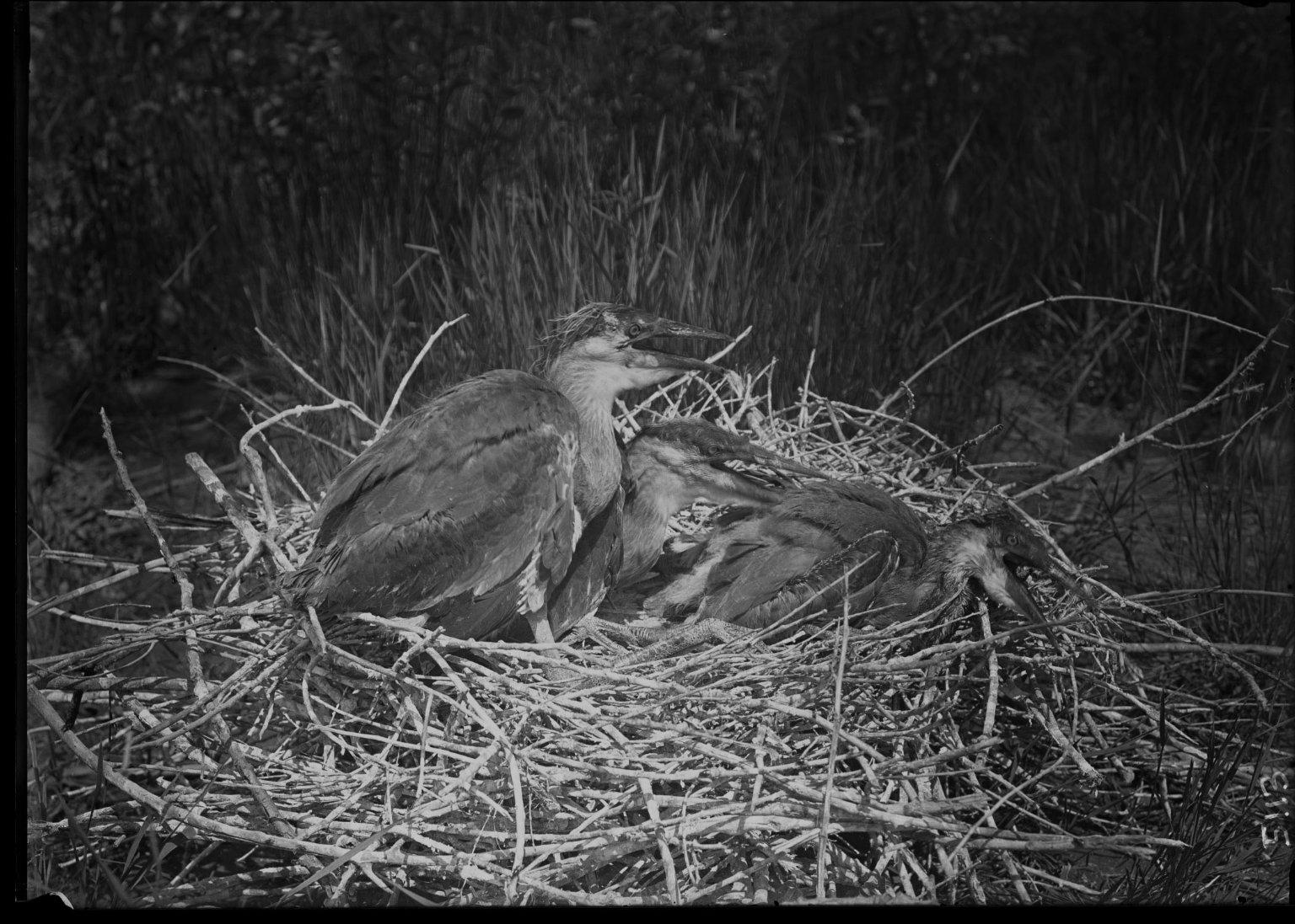 Great Blue Heron chicks in ground nest