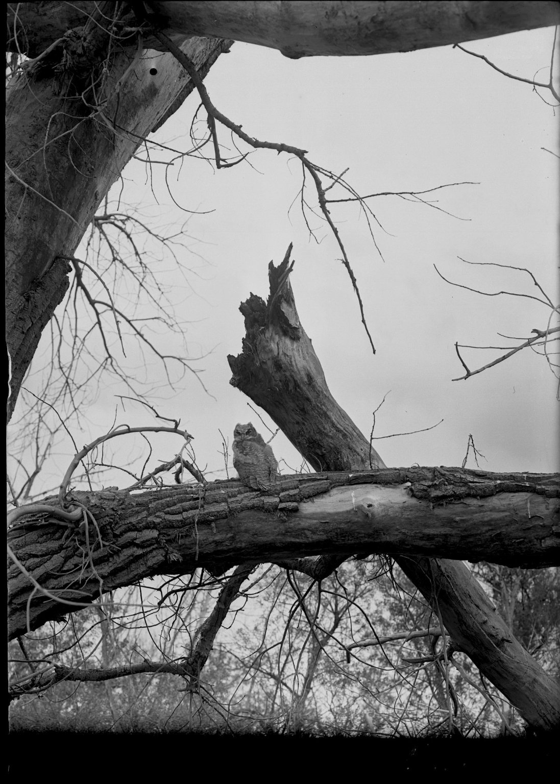 Little Great Horned Owl on log