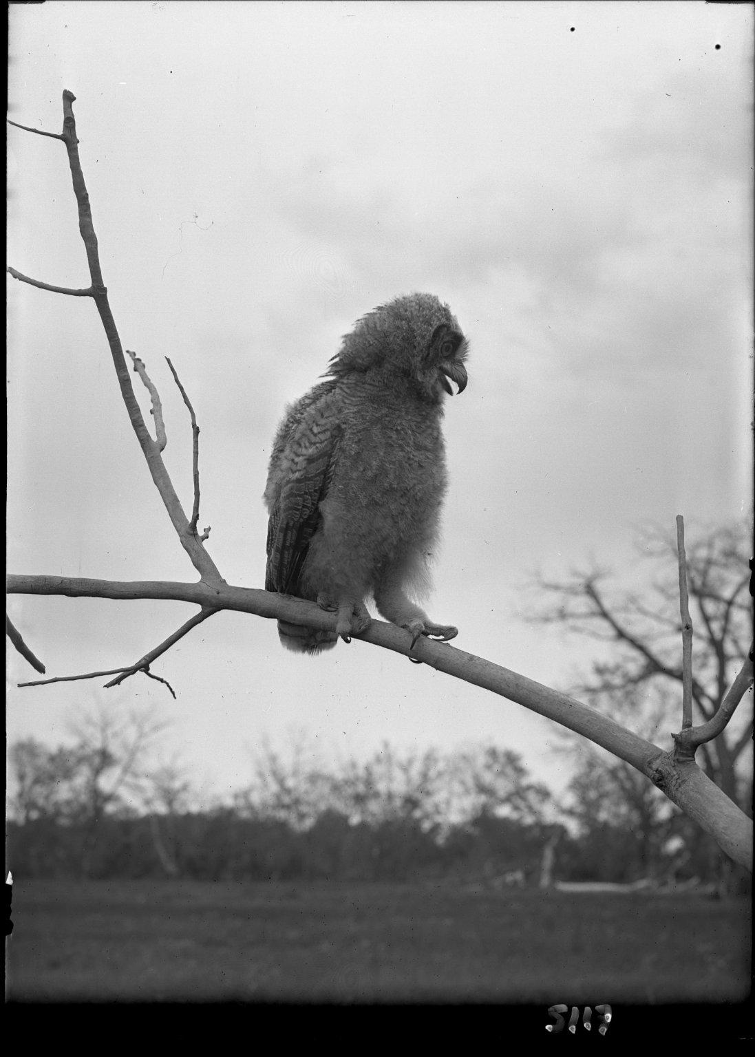 Little Great Horned Owl on log, bill open