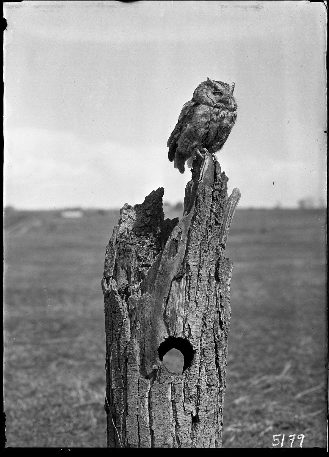 Screech owl on stump