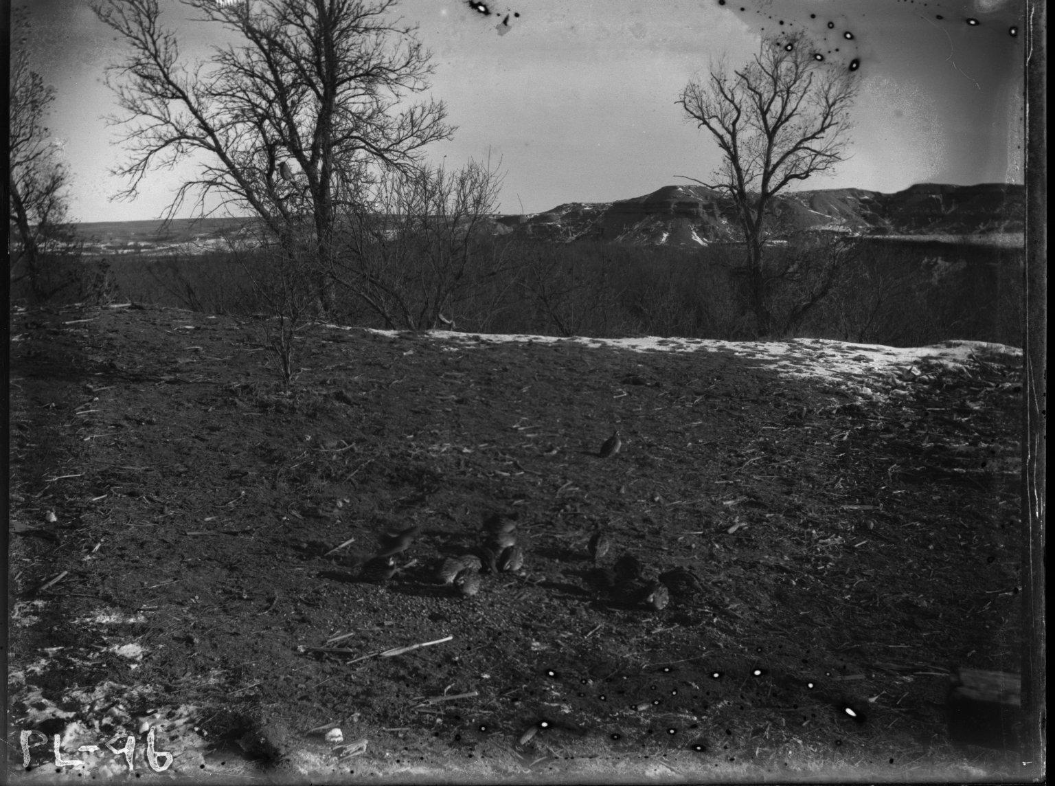 Quails feeding in a field