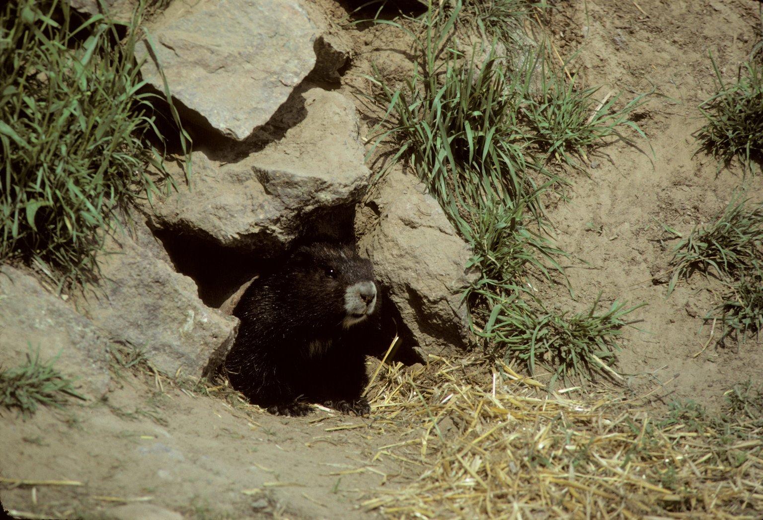Vancouver Marmot