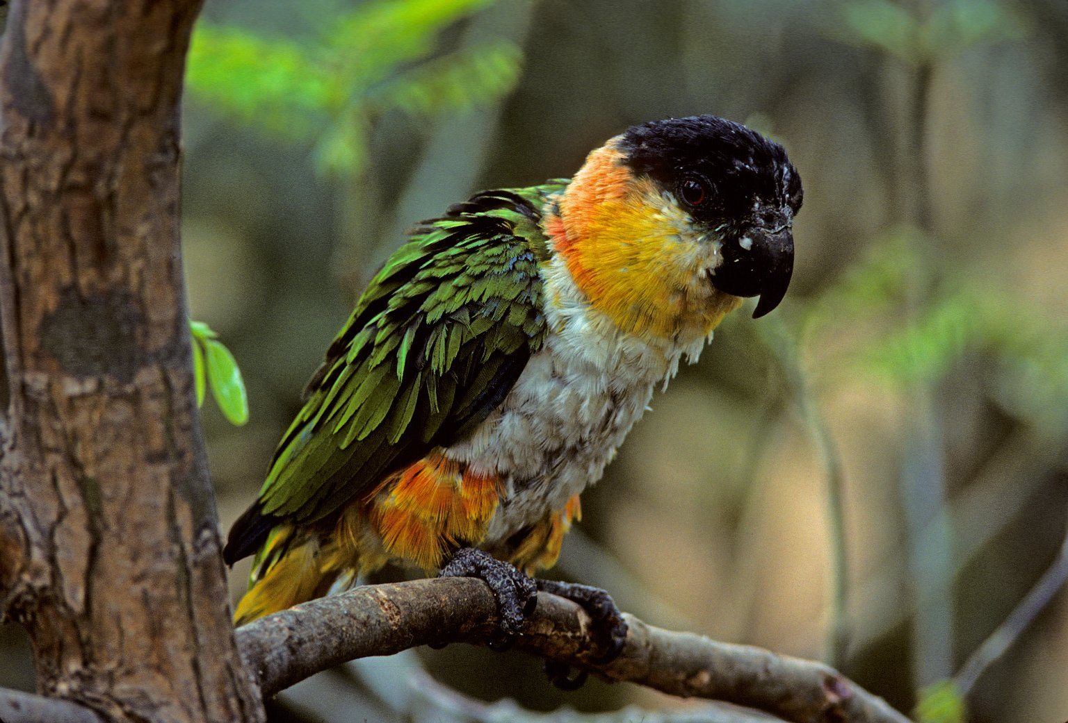 Black-headed Caique, also callled Black-headed Parrot