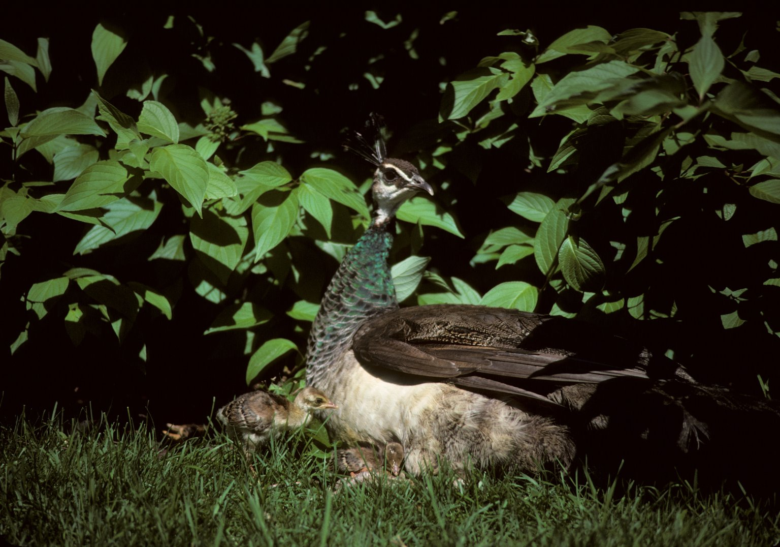 Indian Peafowl, also called Common Peafowl or Peacock