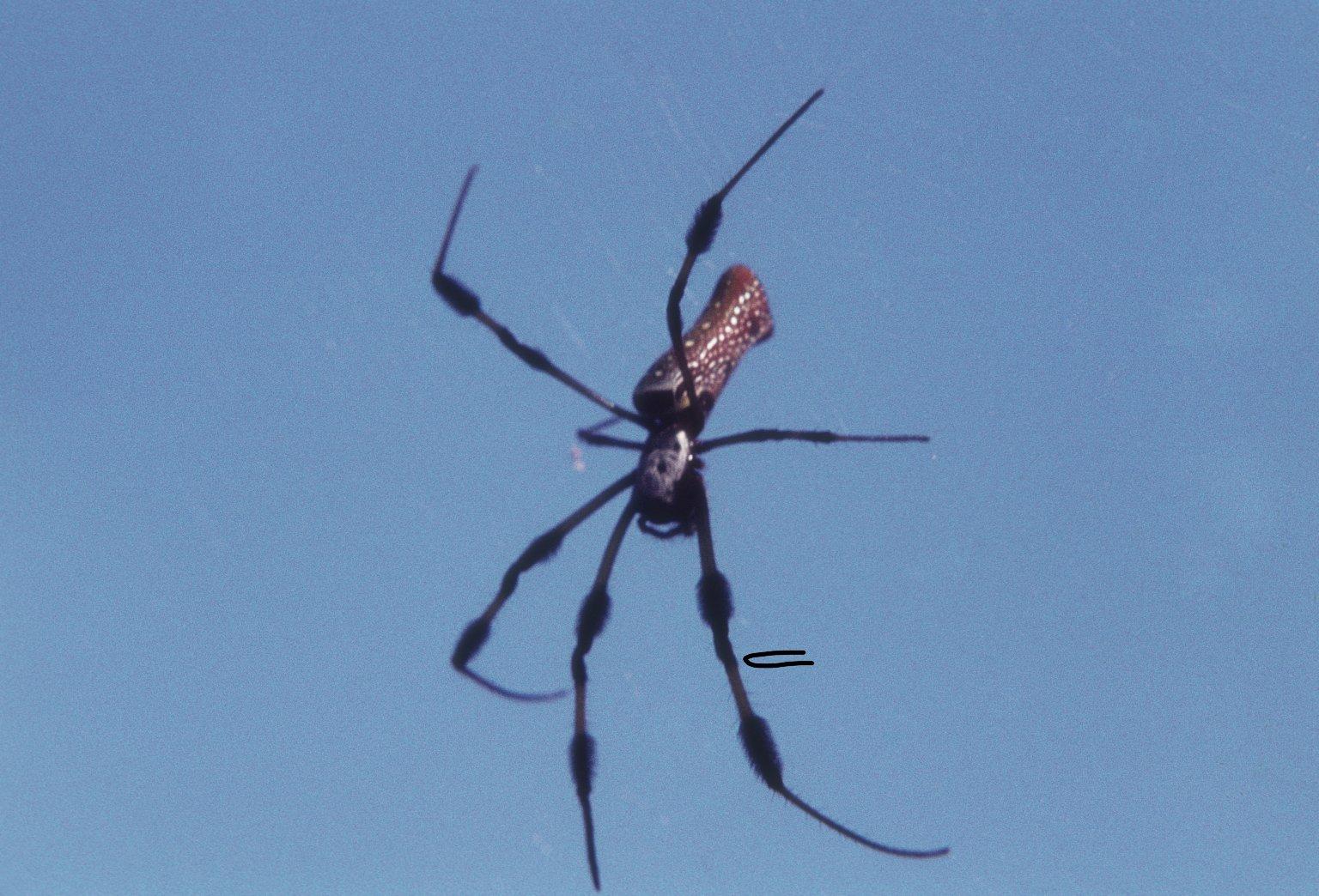 Golden silk orb weaver spider Nephila clavipes (Nephilidae)
