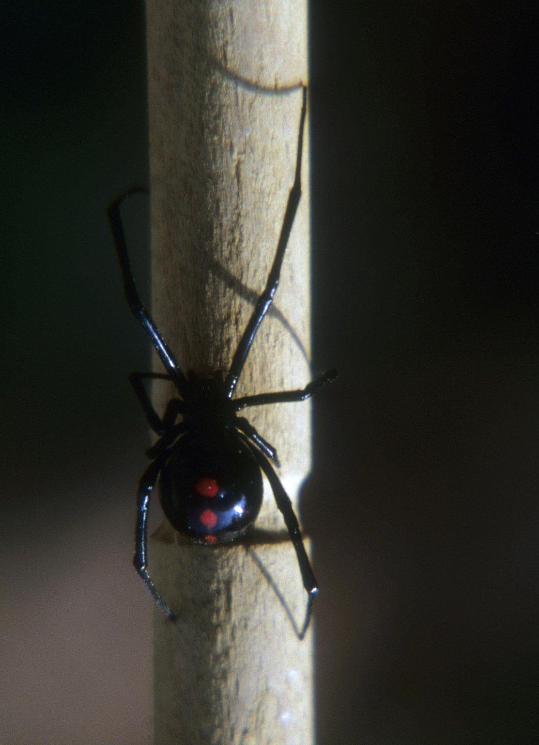 Black widow spider Latrodectus sp (Theridiidae)