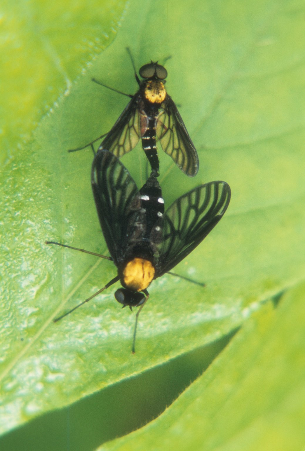 Two fles mating