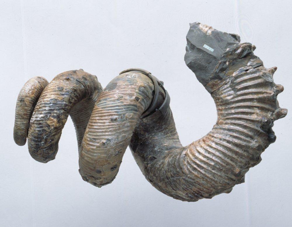 Fossil iridescent ammonite