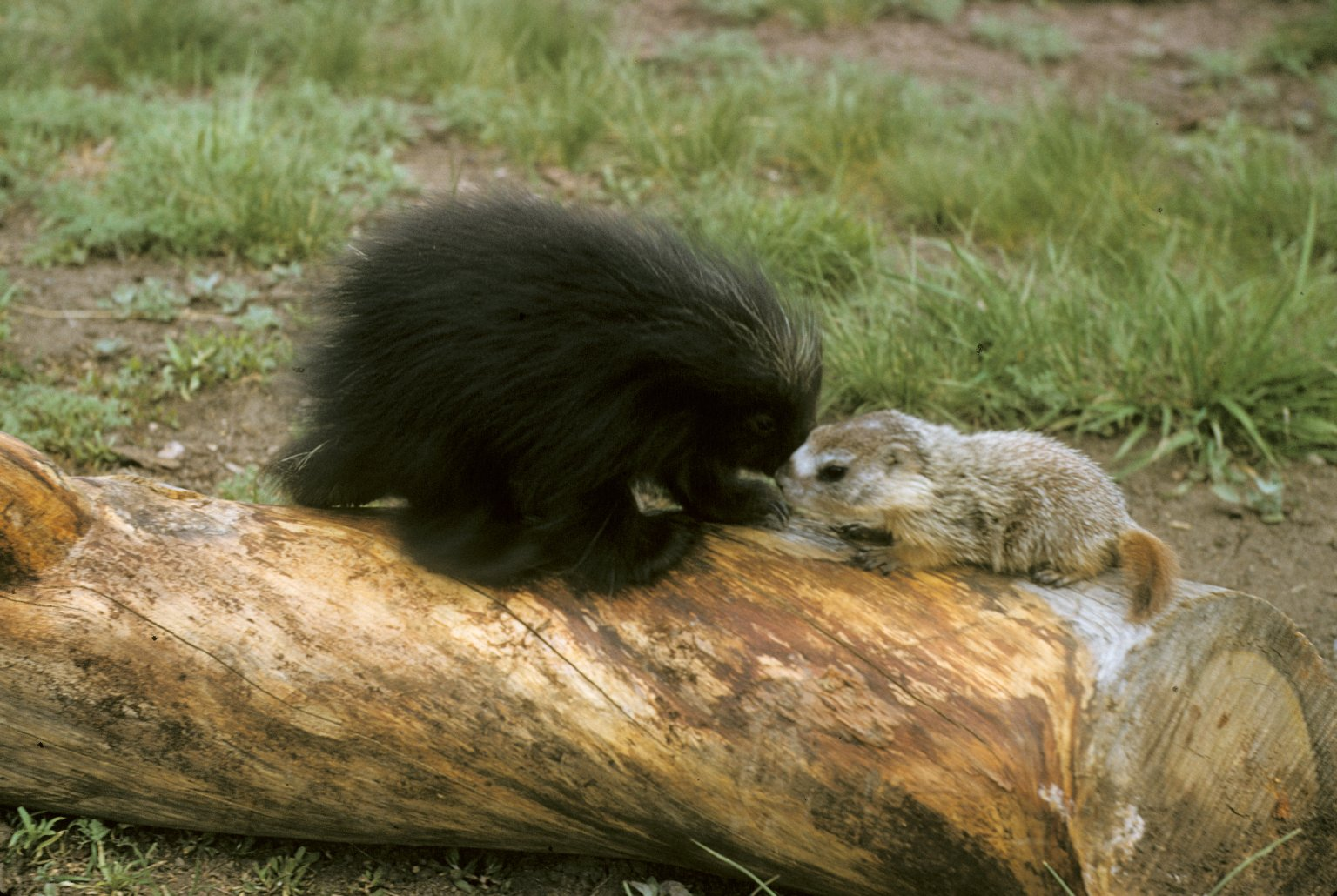 Baby Porcupine and Baby Marmot