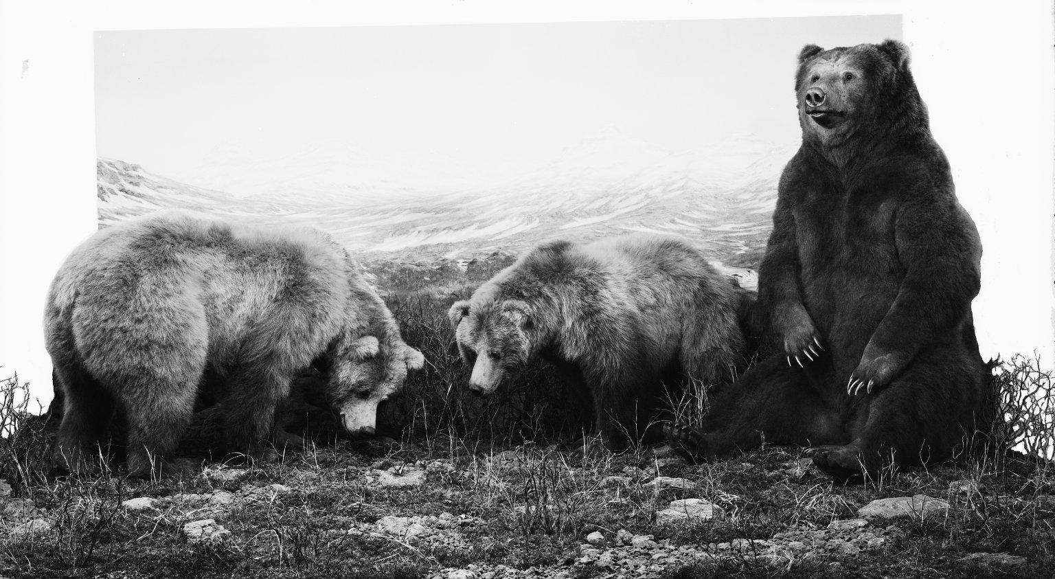 Alaskan Brown Bear group
