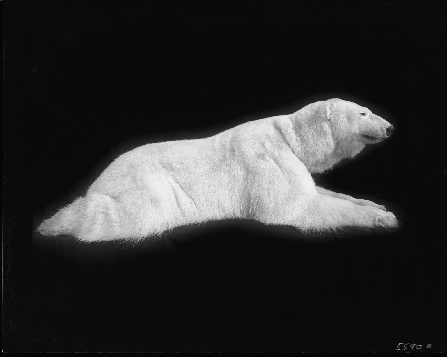 Female polar bear for group exhibit