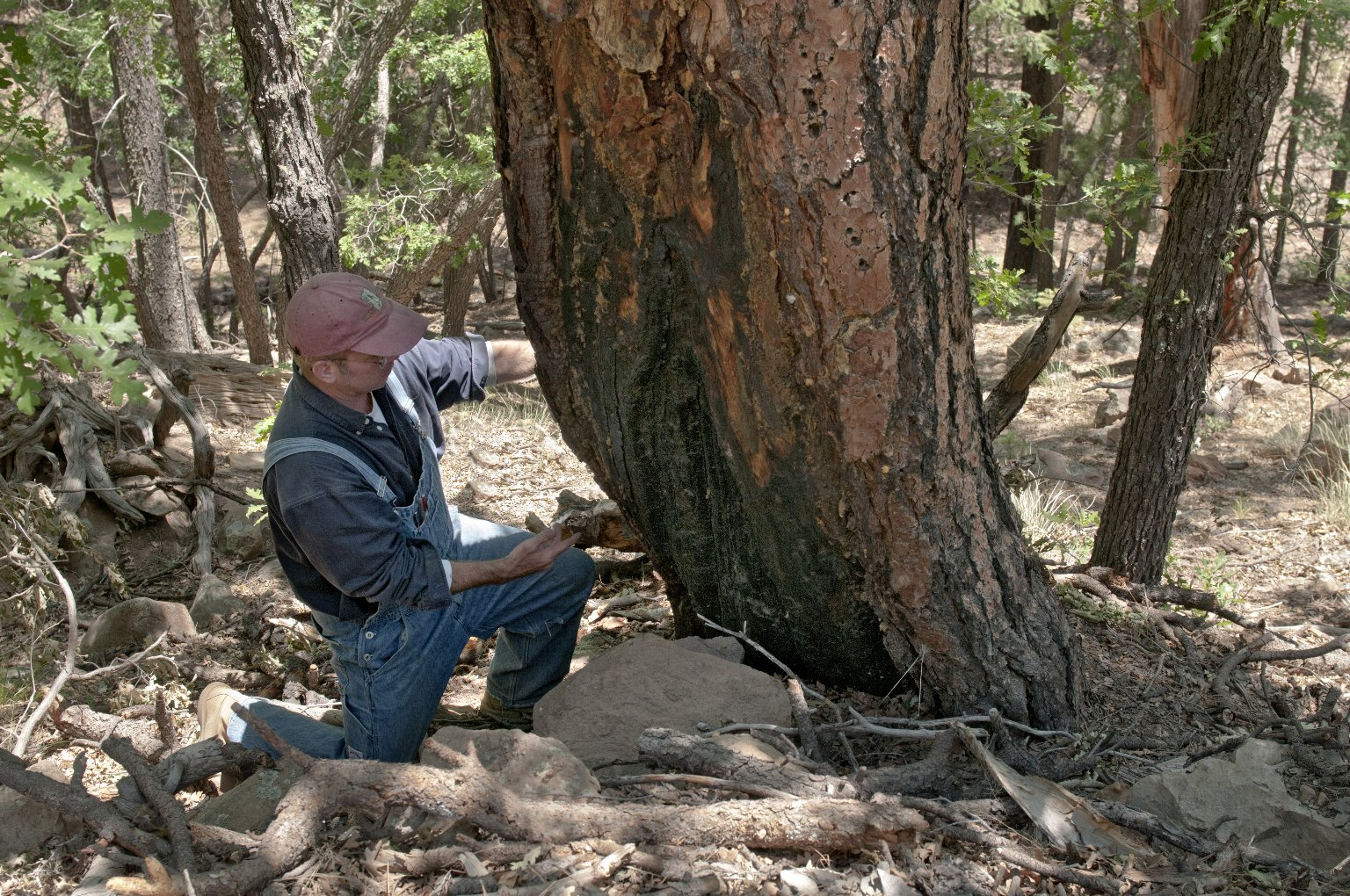 Dr. Steve Nash examines a burn scar on a tree.