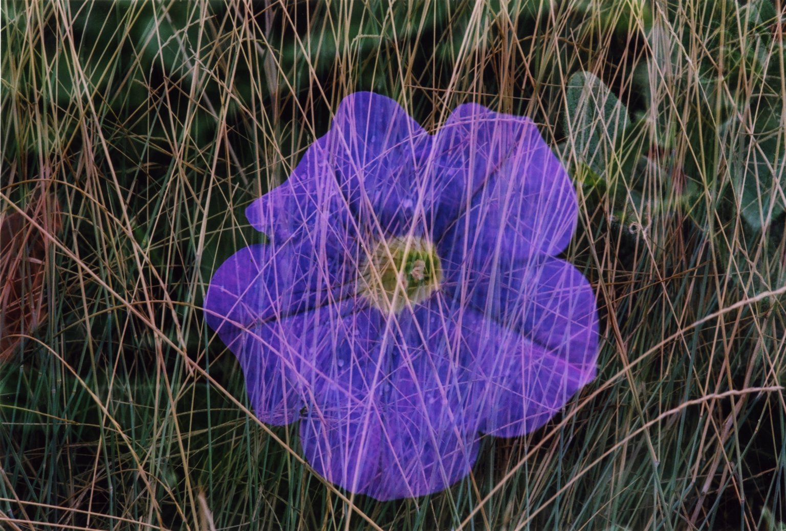 Double Exposure- Purple flower over grass stalks