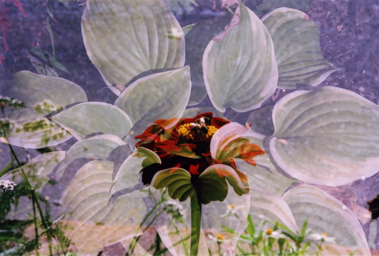 Double Exposure-Red flower over green leaves/Silver and Red