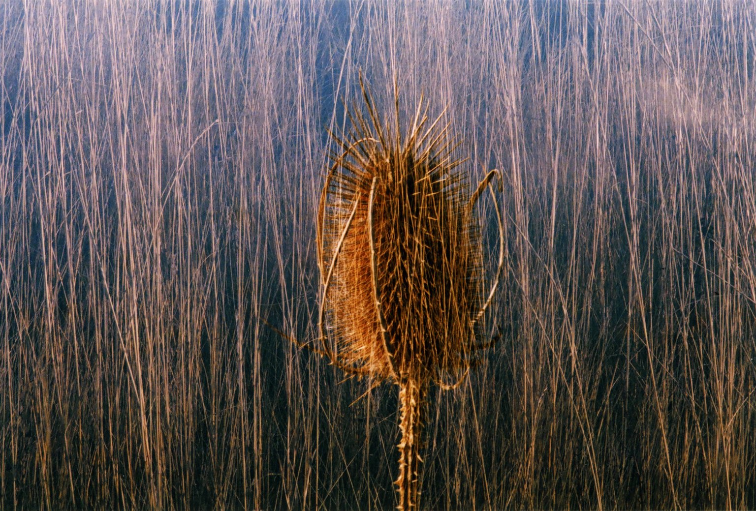 Double Exposure - Seed stalk over grasses