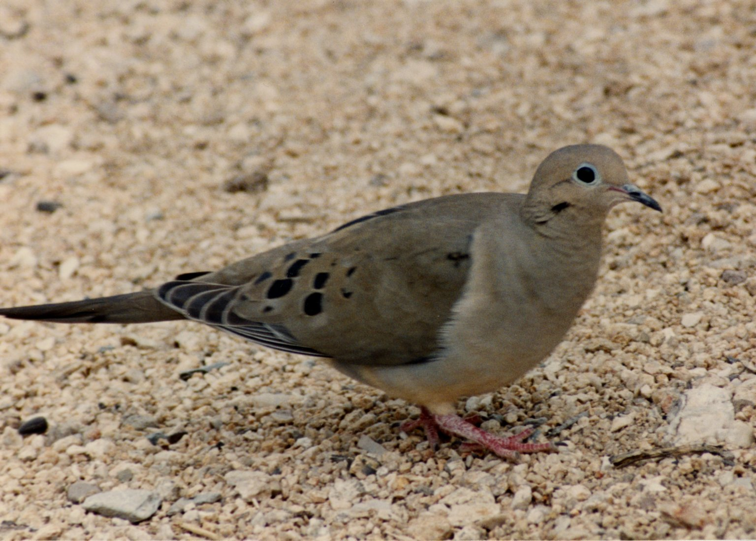 Close up of dove