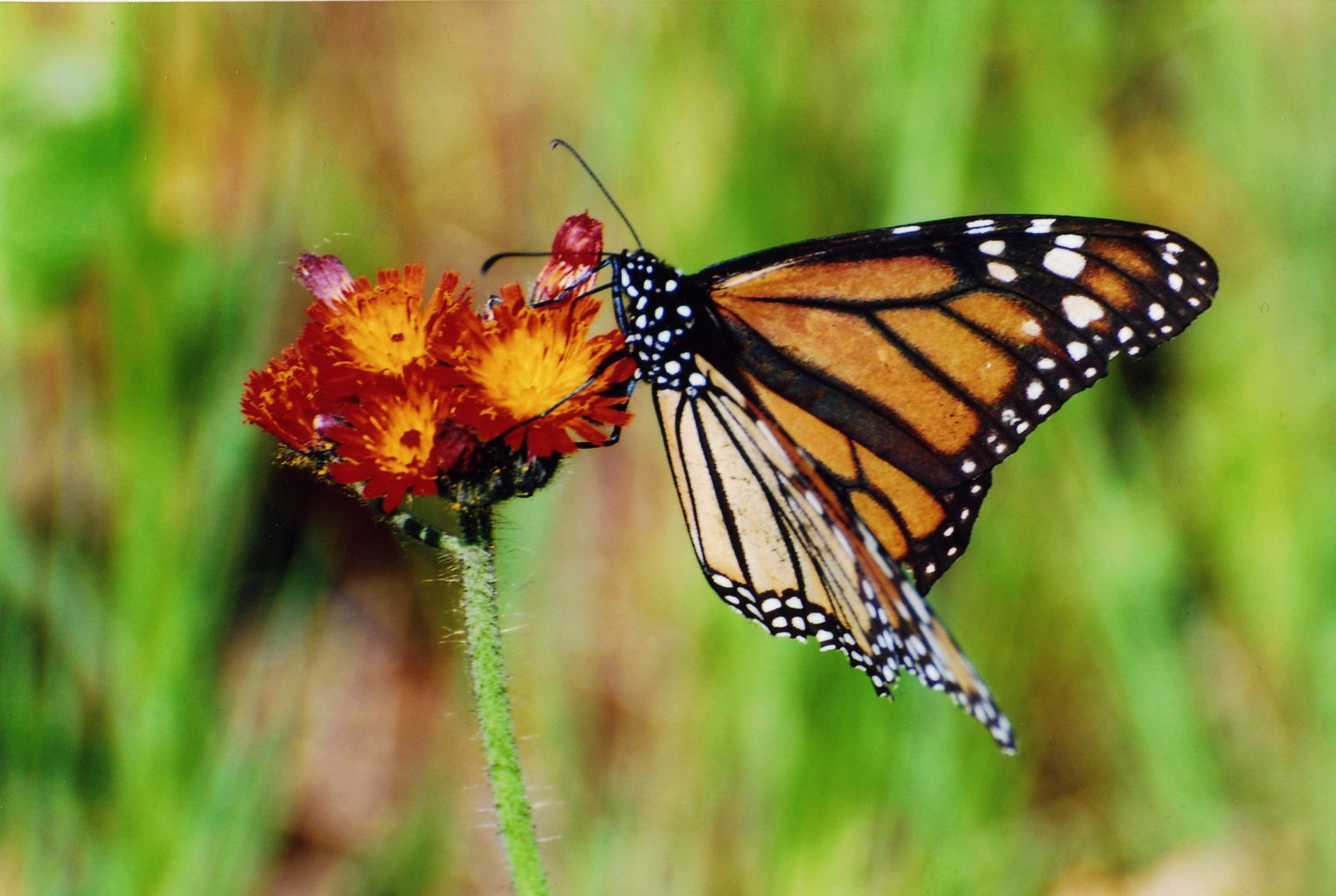 Close up of monarch butterfly sitting on red and yellow flower