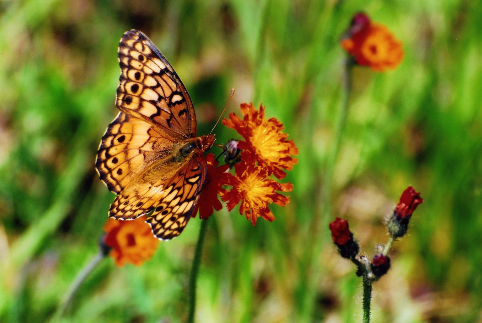 Close up of orange butterfly