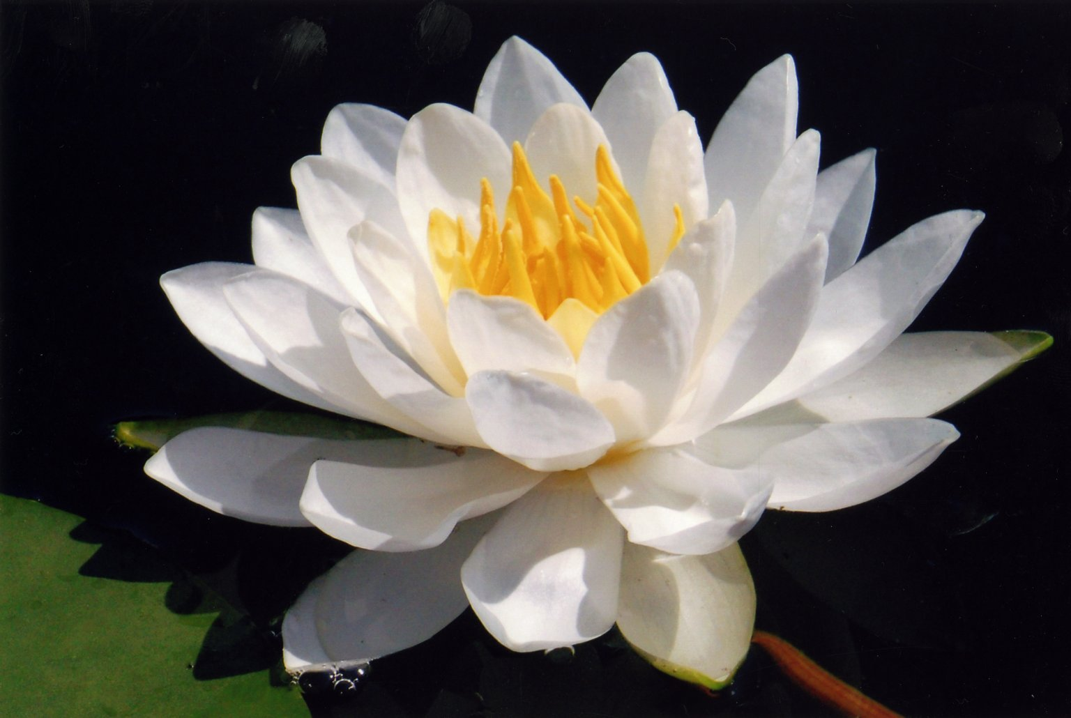Close up of white water lily