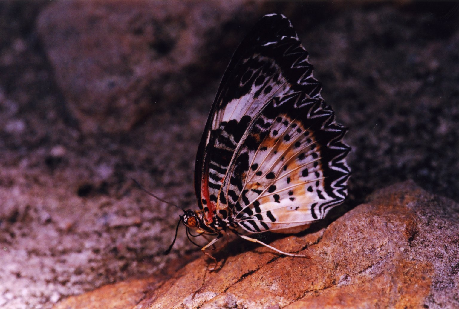 Close up of black, white, and yellow butterfly on rock