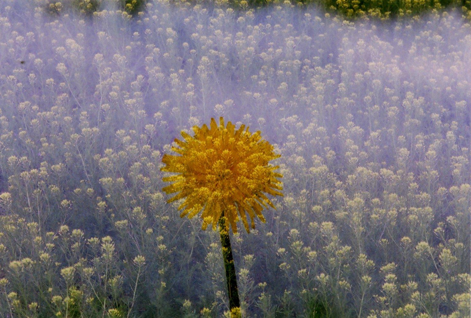 Double Exposure - Dandelion over yellow flowers