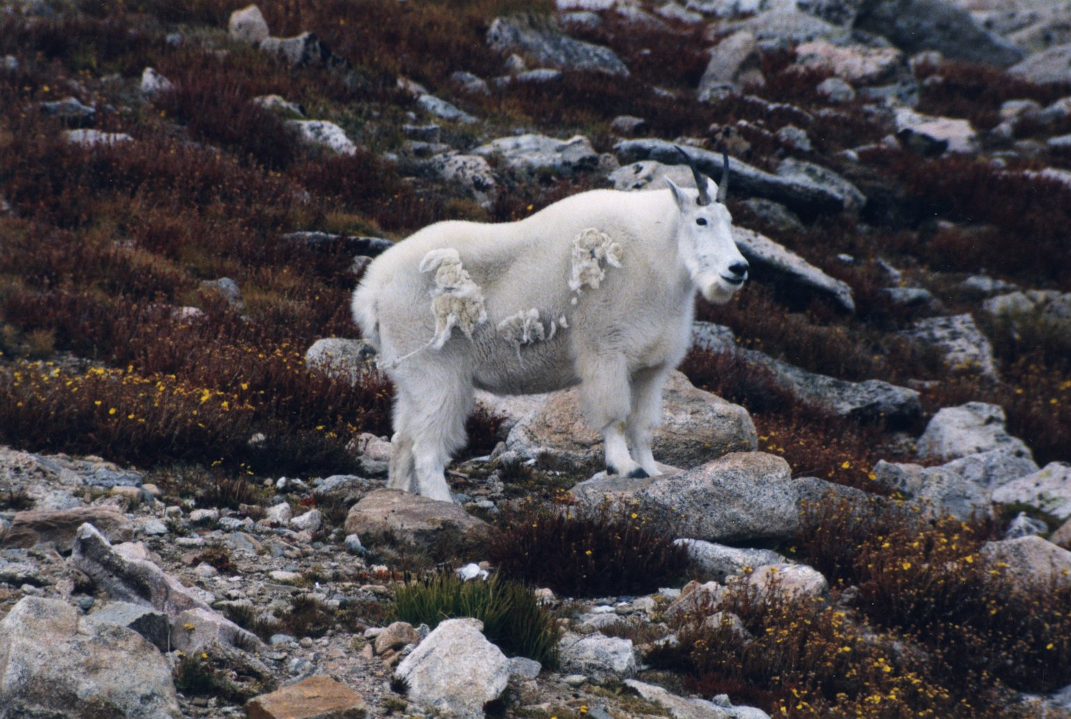 Mountain goats on rock