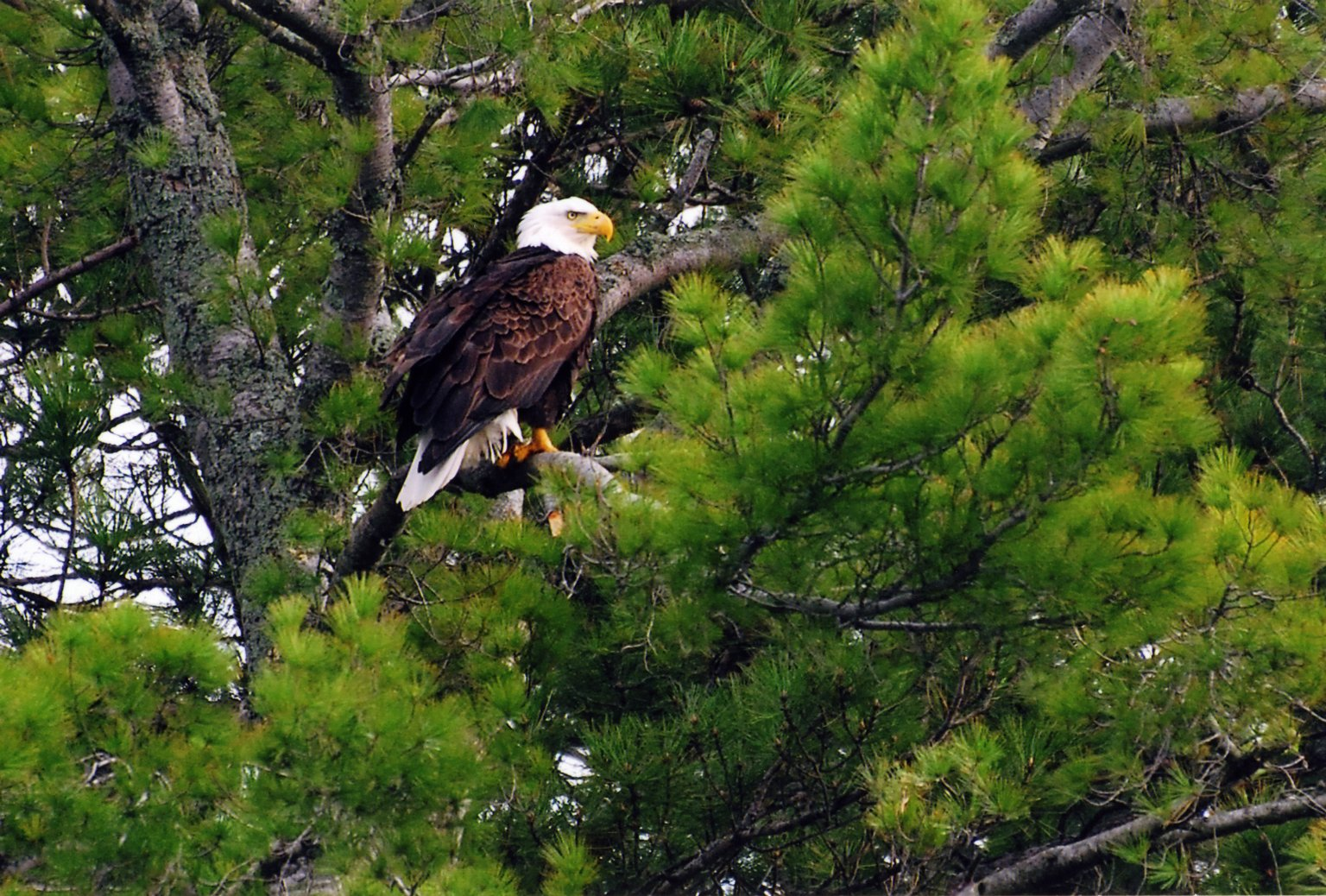 Image of bald eagle sitting in fir tree