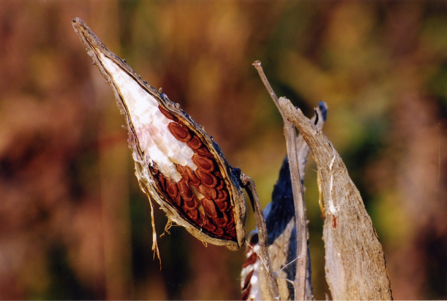 Close up of seed pod with seeds