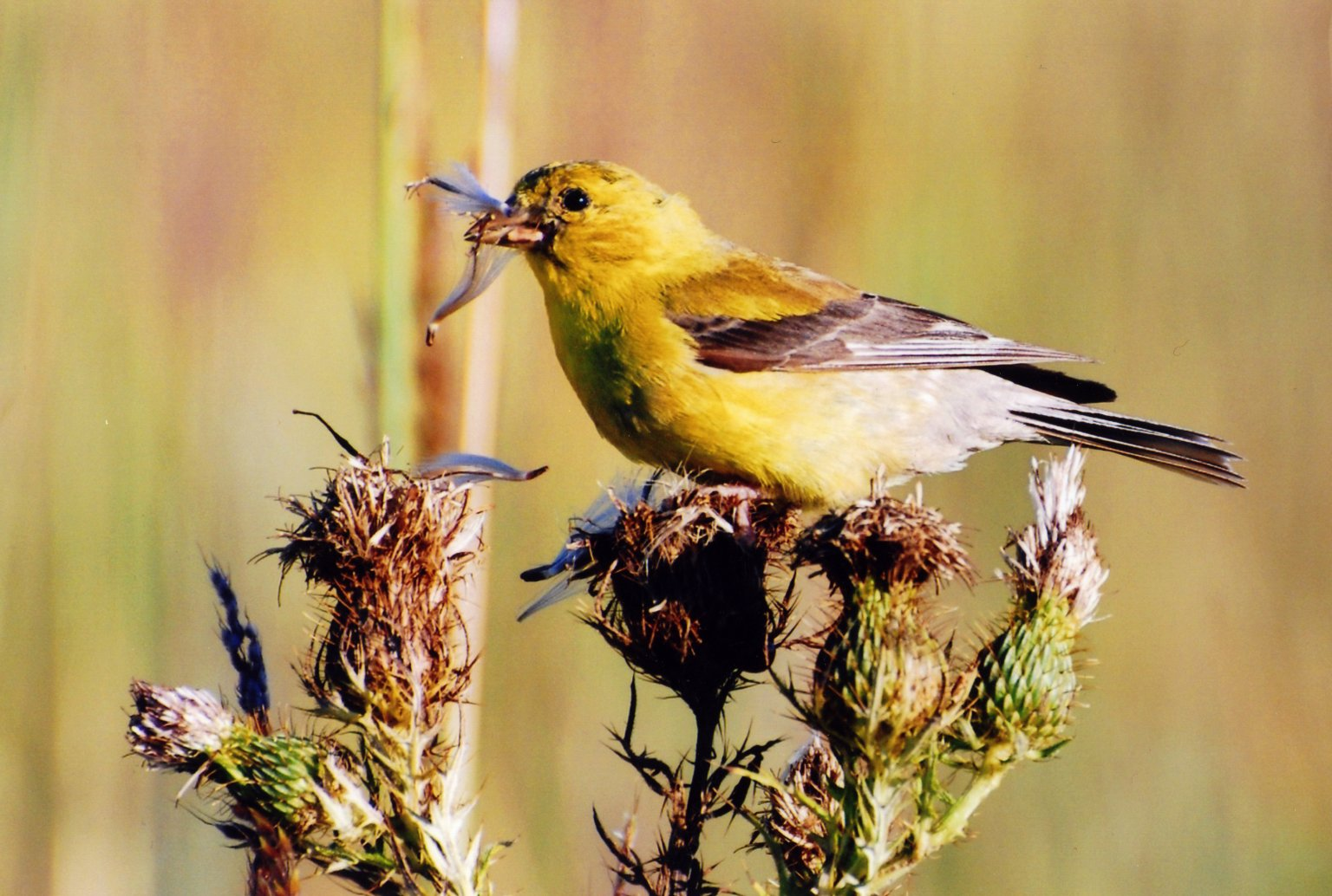 Image of Female Orchard Oriole sitting on thistle top