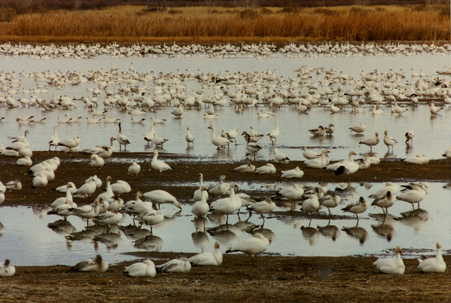 Image of snow geese