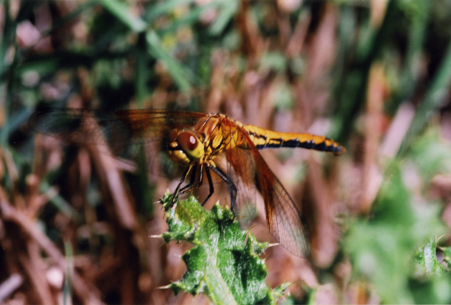 Close up of brown and yellow dragonfly on green leaf