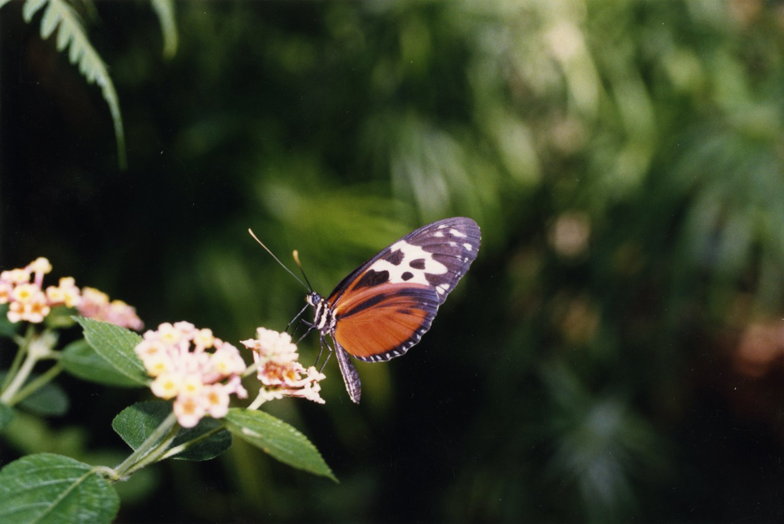 Close up of orange, black, and white butterfly on white flowers