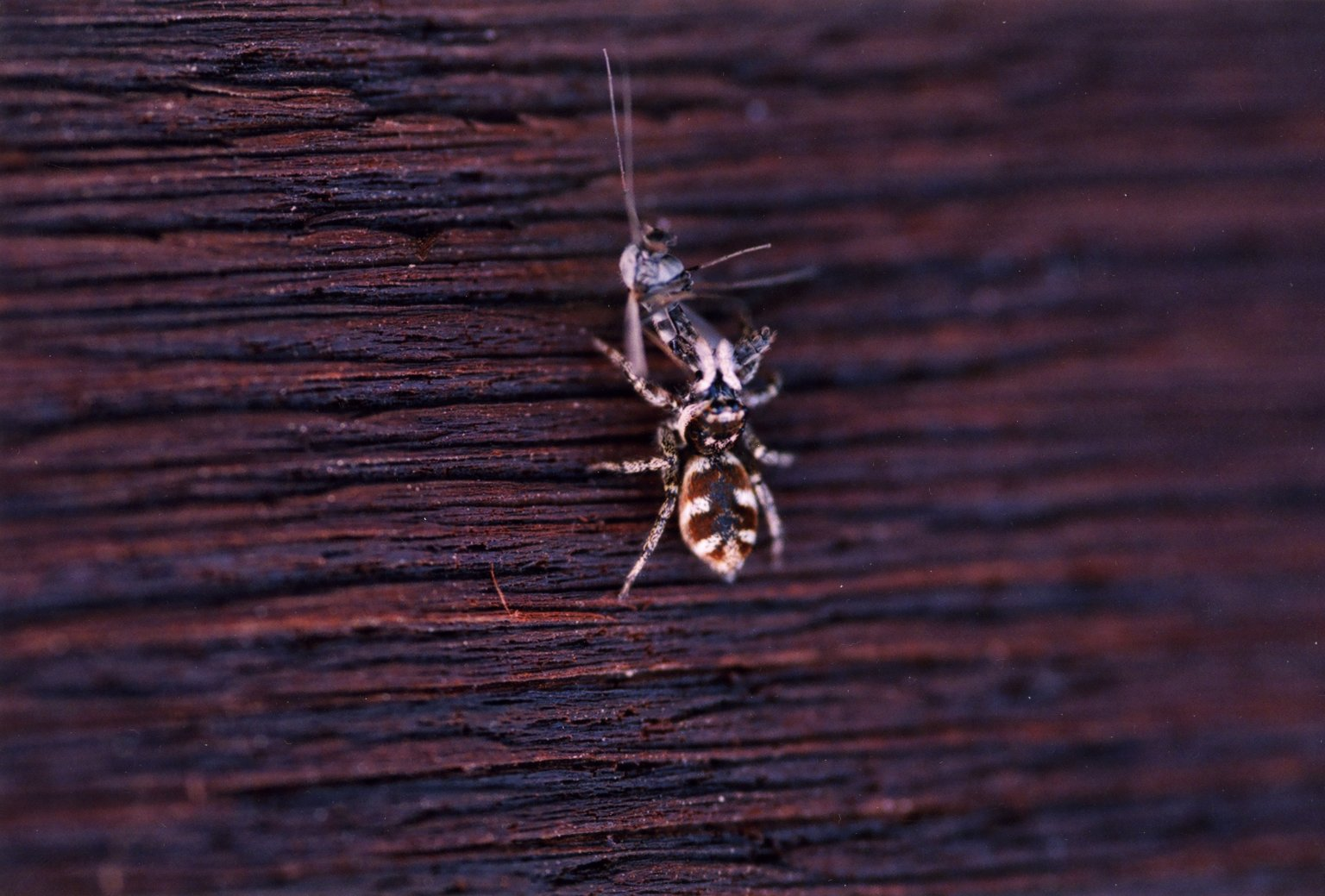Close up of unidentified spider with insect
