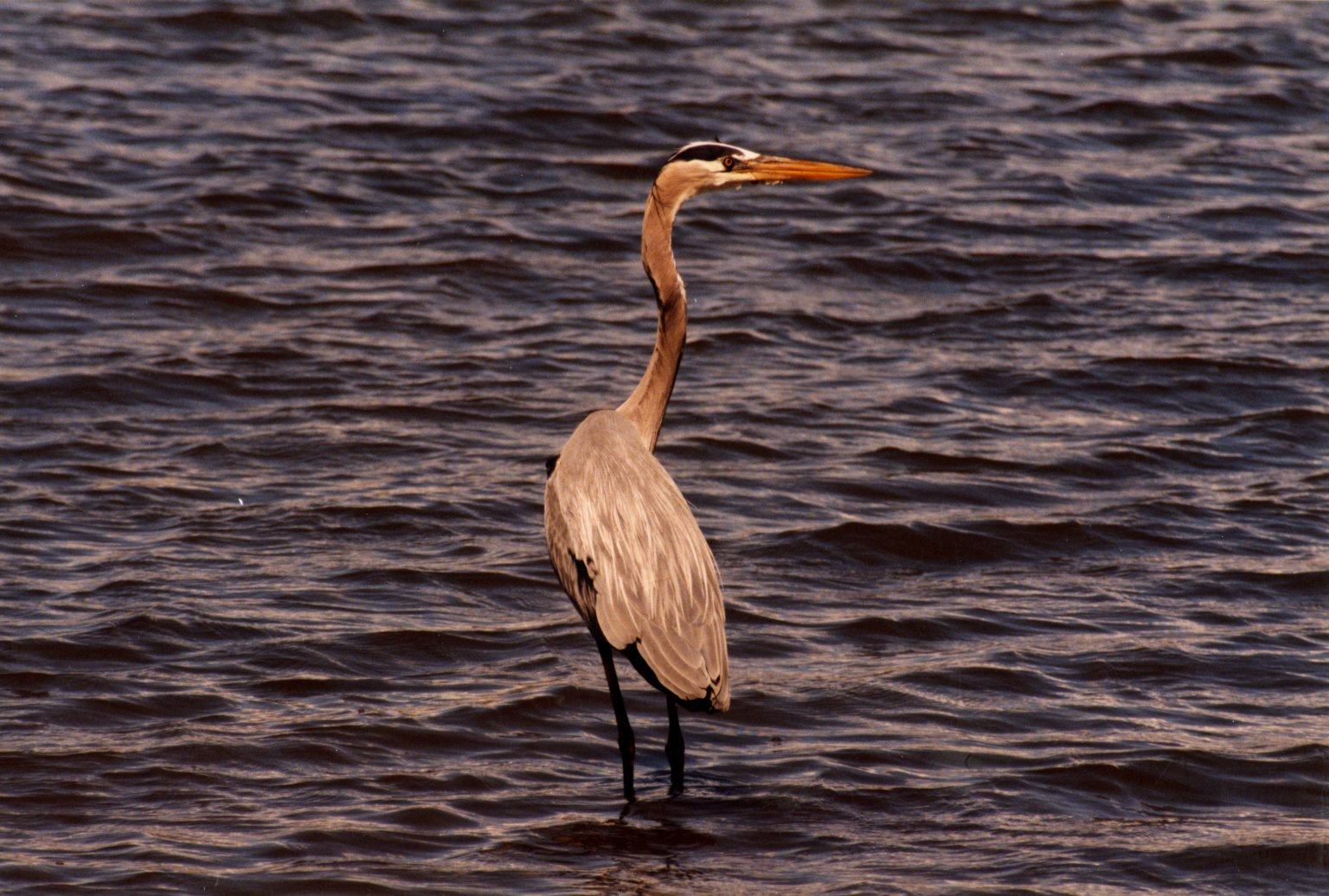 Close up of blue heron standing in water